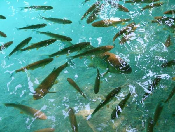 Cavedani nell'acqua trasparente di Plitvice